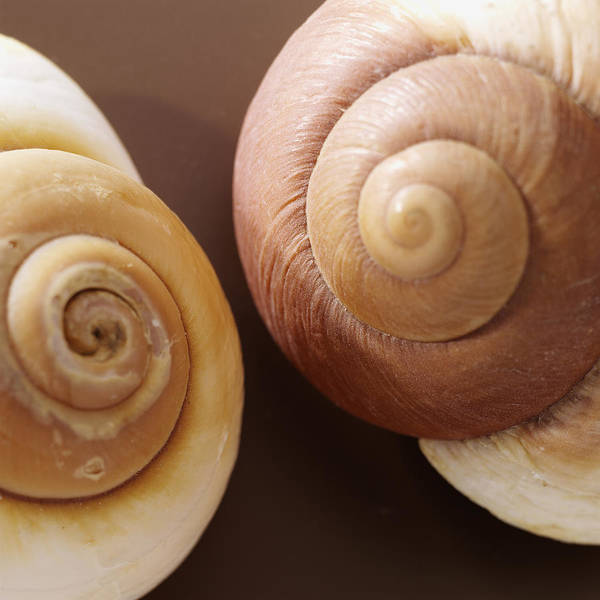 Two Brown Shells Poster featuring the photograph Two Brown Shells by Han Van Vonno