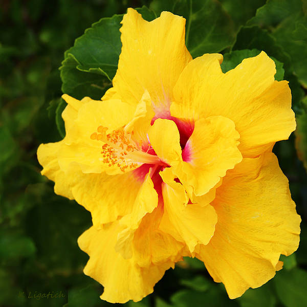 Yellow Double Hibiscus Poster By Kerri Ligatich