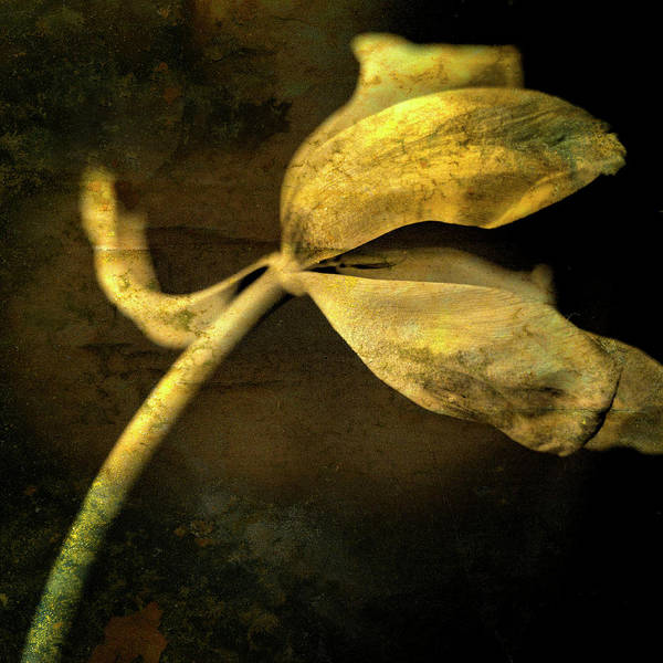 Studio Shot Poster featuring the photograph Yellow Tulip by Bernard Jaubert