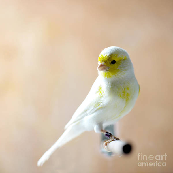 Feather Poster featuring the photograph Canary Bird Sitting On A Twig by Pieropoma