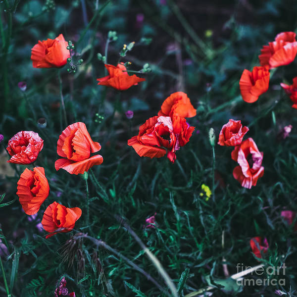 Romance Poster featuring the photograph Poppies In The Field. Minimal Style by Evgeniya Porechenskaya