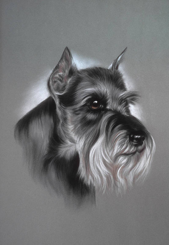 Dog Poster featuring the pastel Schnauzer by Patricia Ivy