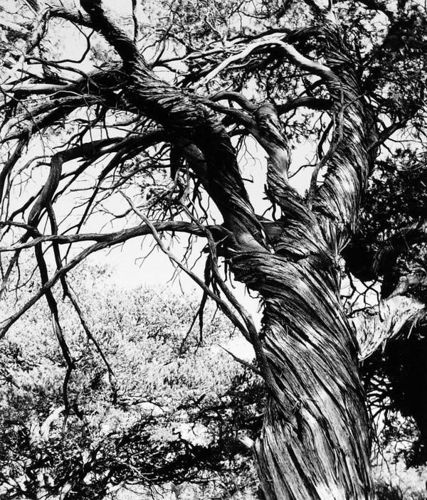 Tree Poster featuring the photograph Twisted Beauty by Allan McConnell