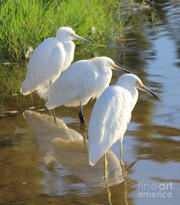 Egrets Poster featuring the photograph Three Amigos by Sharon Johnston