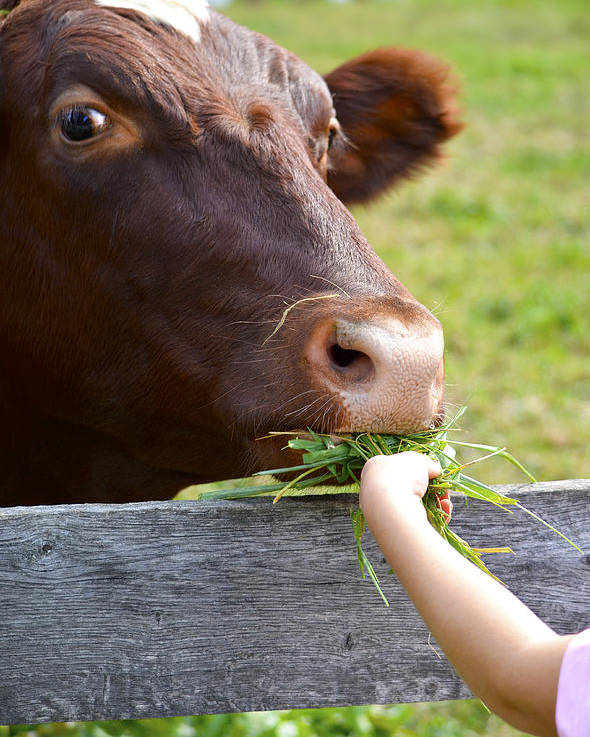 Cow Poster featuring the photograph Childs Helping Hand by Julie Palencia