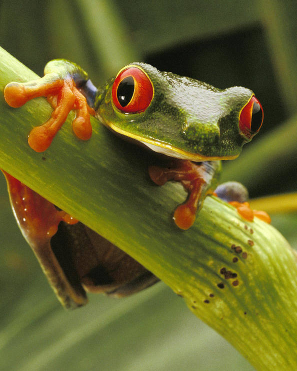 Color Image Poster featuring the photograph A Red-eyed Tree Frog Agalychnis by Steve Winter