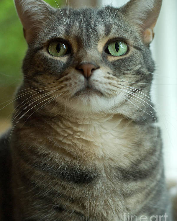 Alert Poster featuring the photograph American Shorthair Cat Profile by Amy Cicconi
