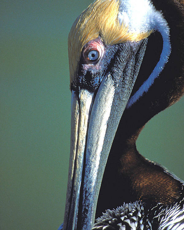 Bird Poster featuring the photograph Blue-eyed Pelican by Carl Purcell