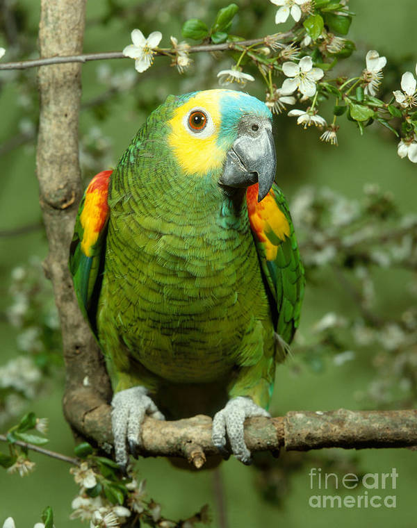 Blue Fronted Amazon Parrot Poster By Hans Reinhard