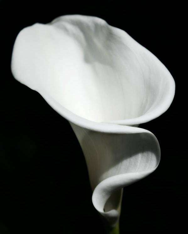Calla Lilly Poster featuring the photograph Calla Lilly by Cathie Tyler