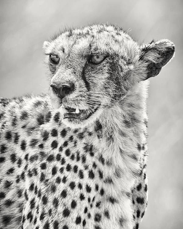 3scape Photos Poster featuring the photograph Cheetah by Adam Romanowicz