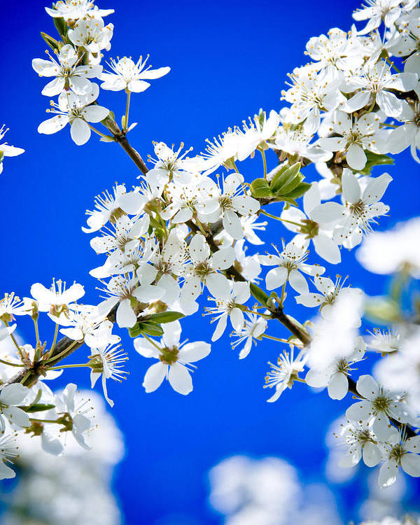 Flowers Poster featuring the photograph Cherry Blossom With Blue Sky by Raimond Klavins