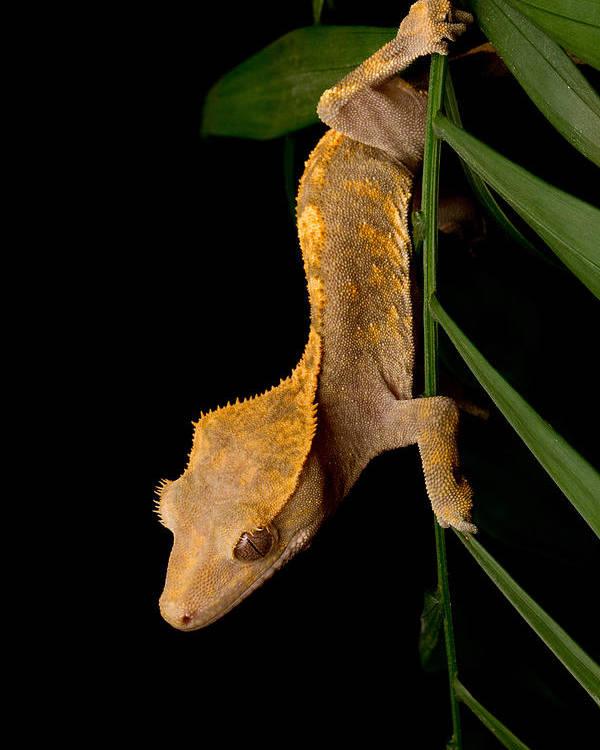 Crested Gecko Rhacodactylus Ciliatus Poster