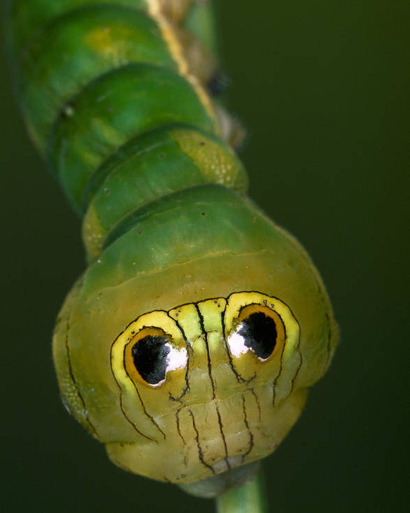 Feb0514 Poster featuring the photograph Dead-leaf Moth Caterpillar Eye Spots by Ingo Arndt
