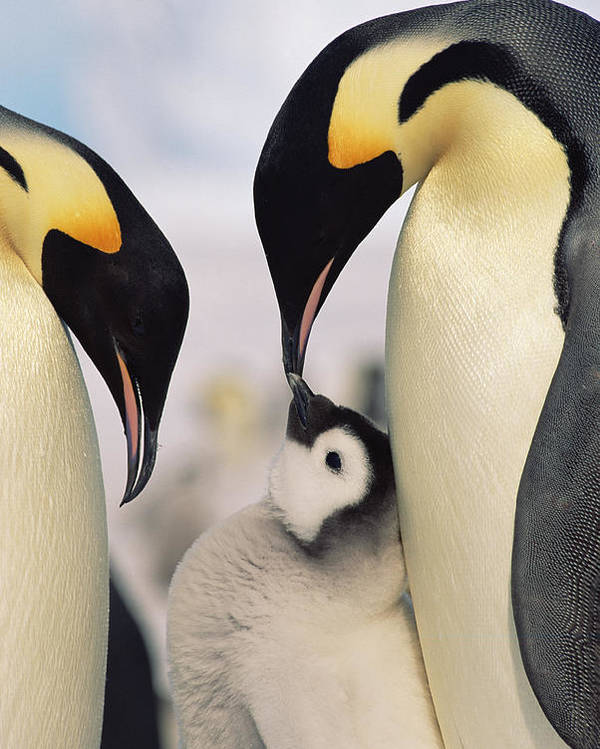 Feb0514 Poster featuring the photograph Emperor Penguin Parents With Chick by Konrad Wothe