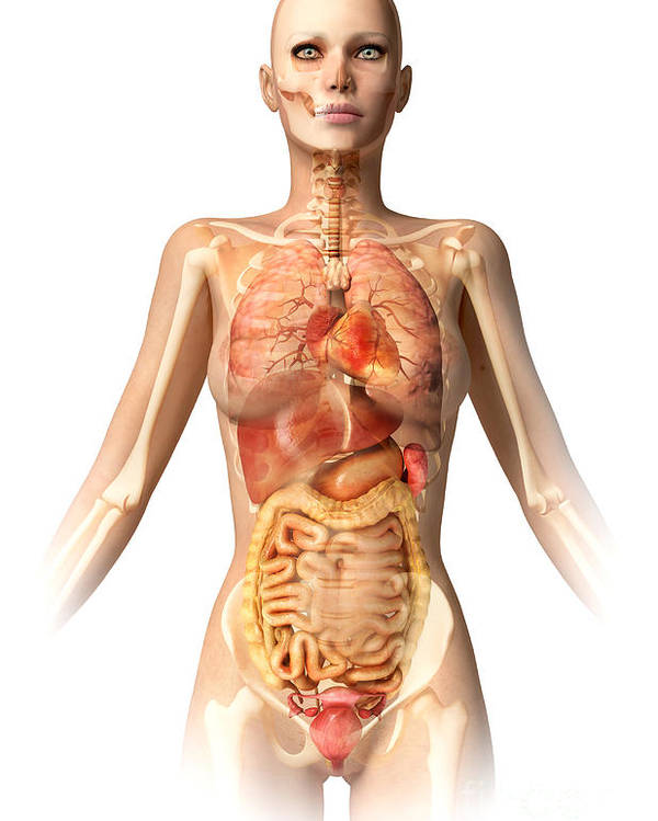 Stomach Poster featuring the digital art Female Body With Bone Skeleton by Leonello Calvetti