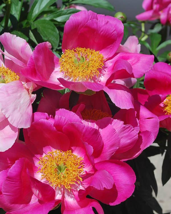 Pink Peony Poster featuring the photograph Garden Party by Billie Colson