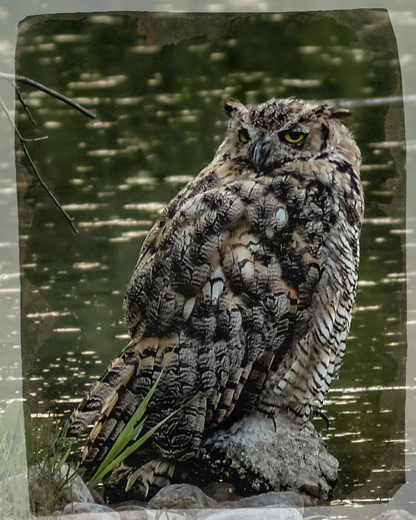 Birds Poster featuring the photograph Great Horned Owl by Ernie Echols
