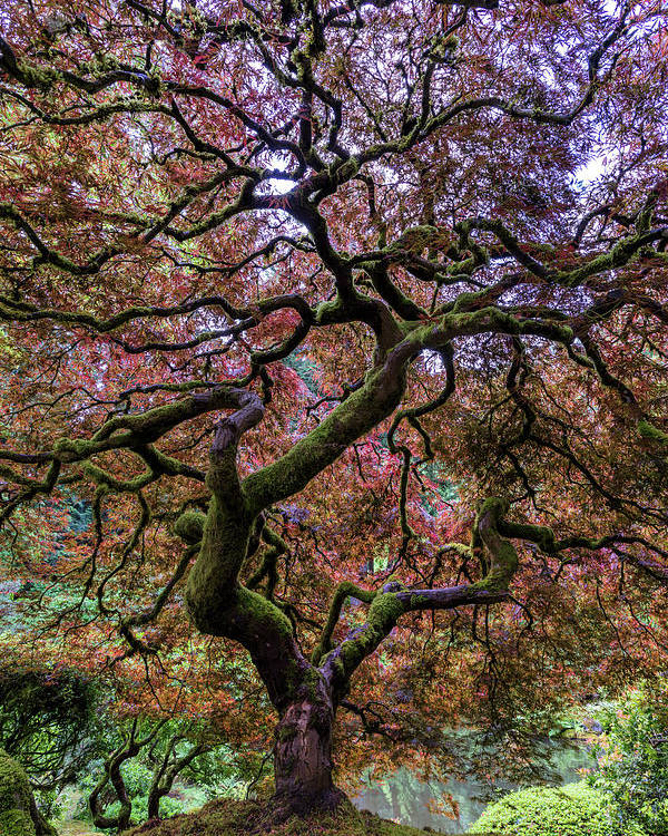 Japanese Maple Tree Poster By Mike Centioli