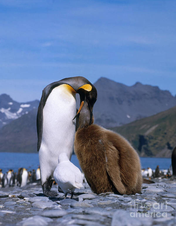Fauna Poster featuring the photograph King Penguins Aptenodytes Patagonicus by Hans Reinhard