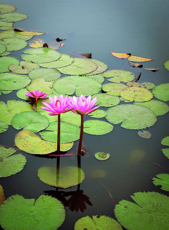 Lotus Flower Poster By Maxphotography