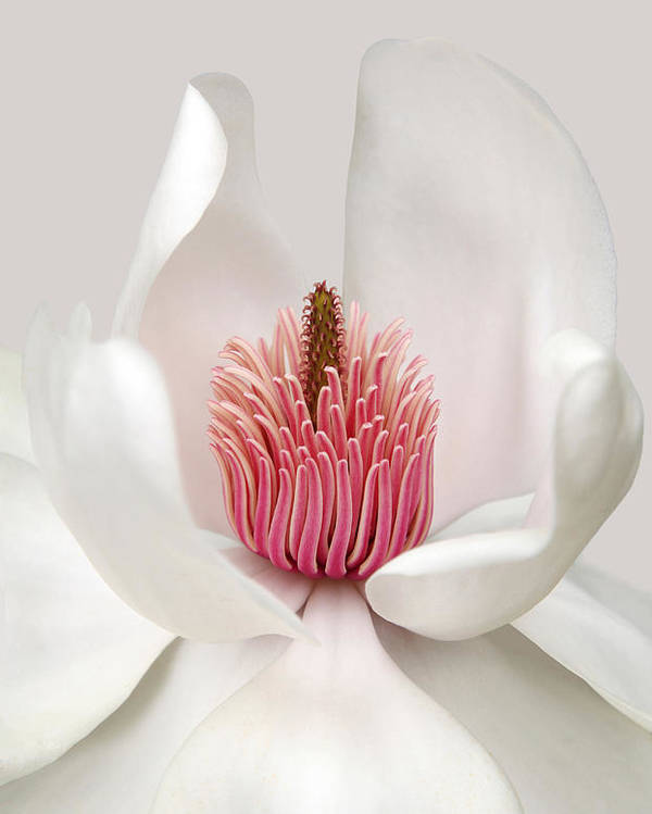 Magnolia Poster featuring the photograph Magnolia 1 by Brian Haslam