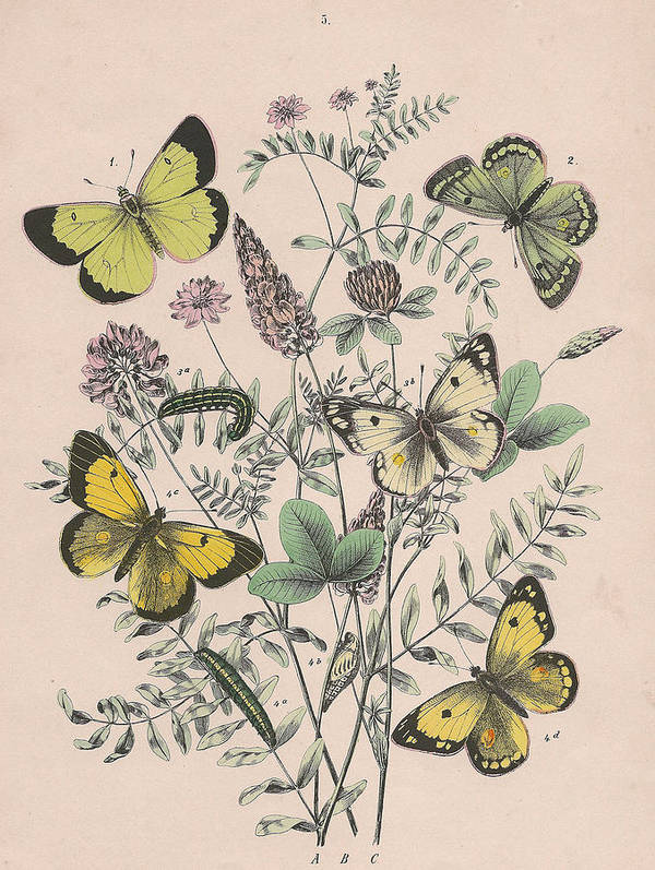 Butterfly Poster featuring the drawing Pieridae by W Kirby