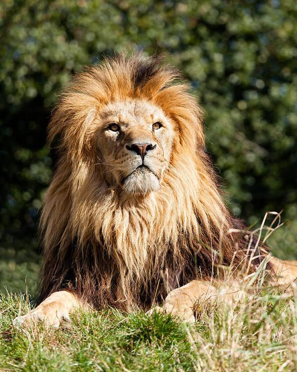 Lion Poster featuring the photograph Proud Majestic Lion by Sarah Cheriton-Jones