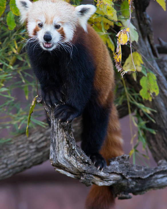 Red Panda Poster featuring the photograph Red Panda by Sara McCuddy