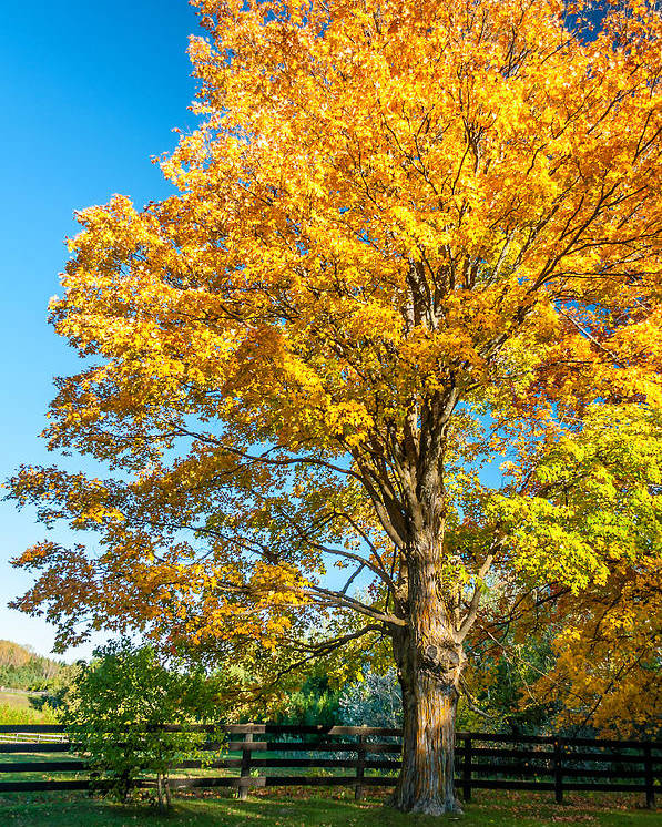 Ontario Poster featuring the photograph Sugar Maple 2 by Steve Harrington