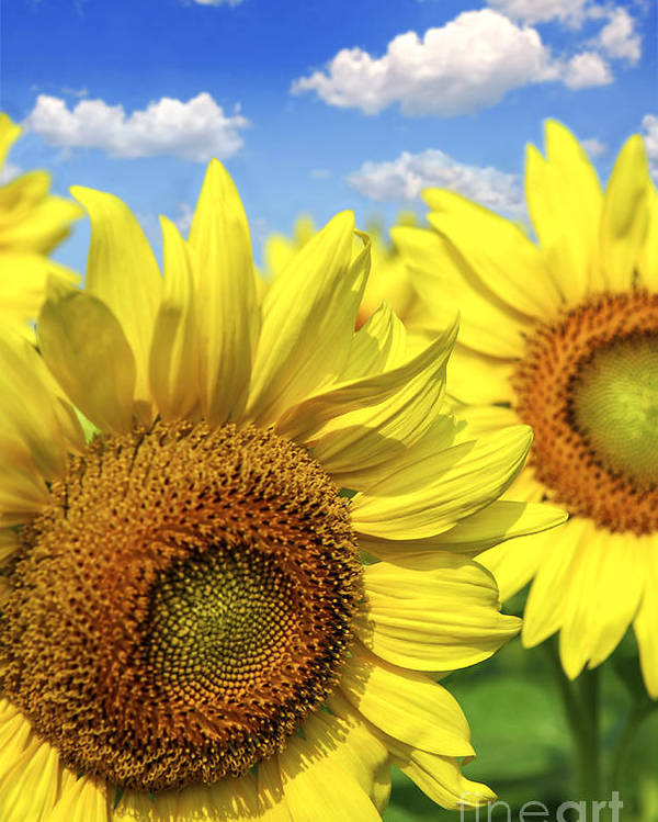 Sunflower Poster featuring the photograph Sunflowers by Elena Elisseeva
