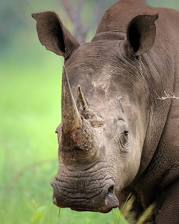 Square-lipped Poster featuring the photograph White Rhinoceros by Johan Swanepoel