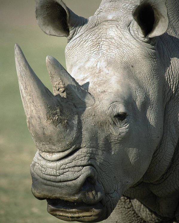 Feb0514 Poster featuring the photograph White Rhinoceros Portrait by San Diego Zoo