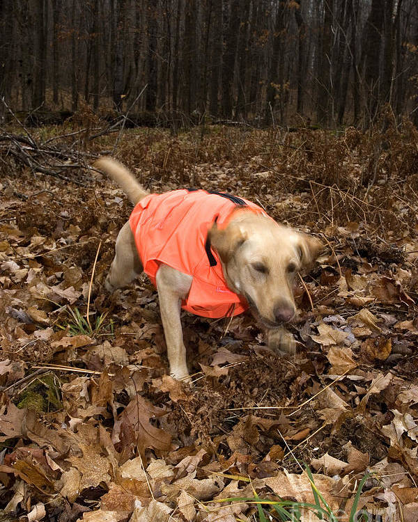 Retrieve Poster featuring the photograph Yellow Labrador by Linda Freshwaters Arndt
