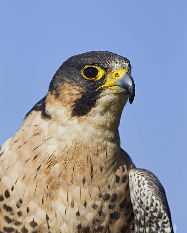 Peregrine Falcon Poster featuring the photograph 130201p040 by Arterra Picture Library