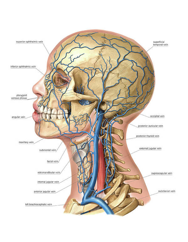 Anatomy Poster featuring the photograph Venous System Of The Head And Neck by Asklepios Medical Atlas