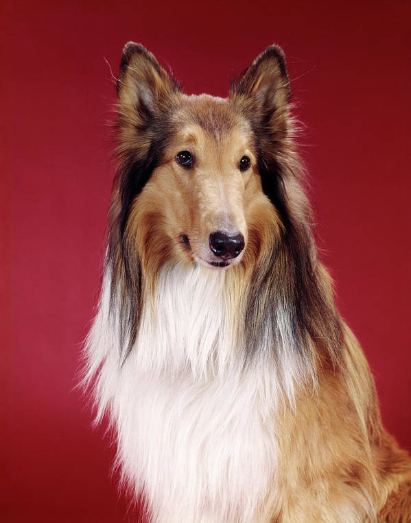 Photography Poster featuring the photograph 1960s Portrait Of Collie Dog On Red by Vintage Images
