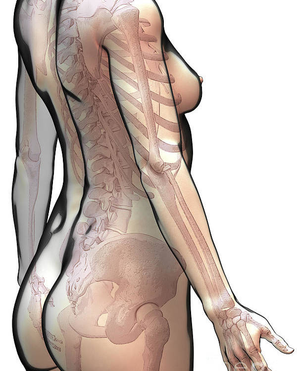 Digitally Generated Image Poster featuring the photograph Bones Of The Upper Body Female by Science Picture Co