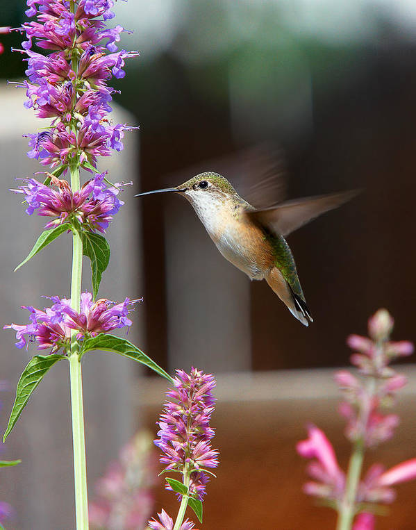 Humming Bird Poster featuring the photograph Broad-tailed Hummingbird by Allen Lang