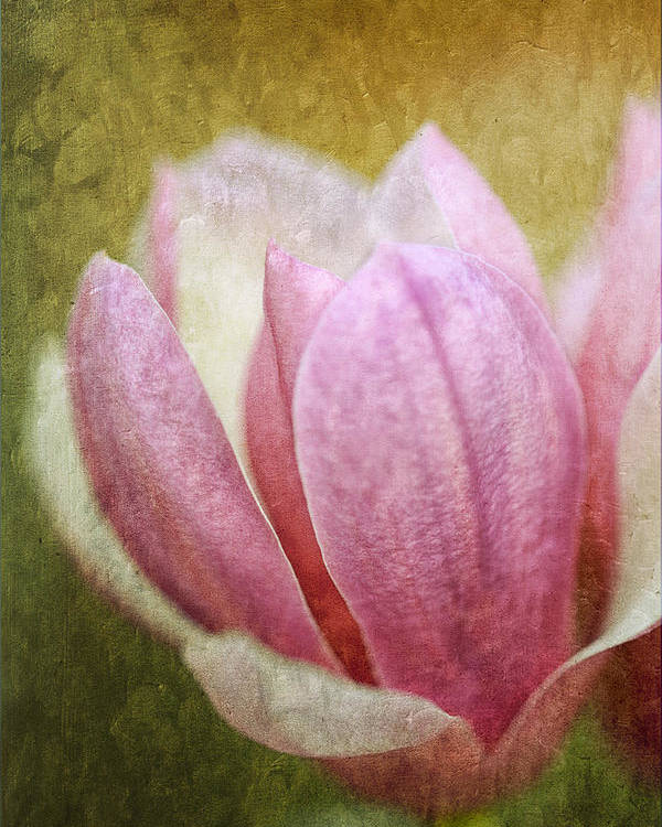 Japanese Poster featuring the photograph Japanese Magnolia by Keith Gondron