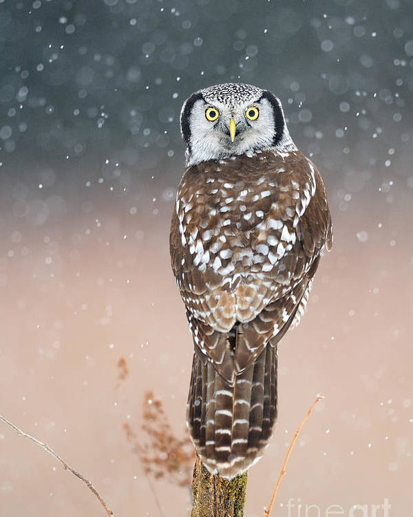 Bird Poster featuring the photograph Northern Hawk Owl by Scott Linstead
