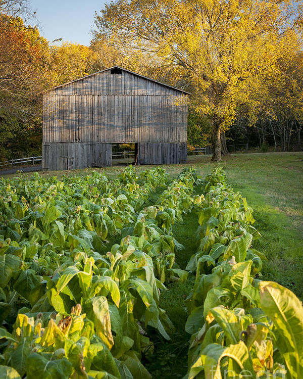 America Poster featuring the photograph Old Tobacco Barn by Brian Jannsen