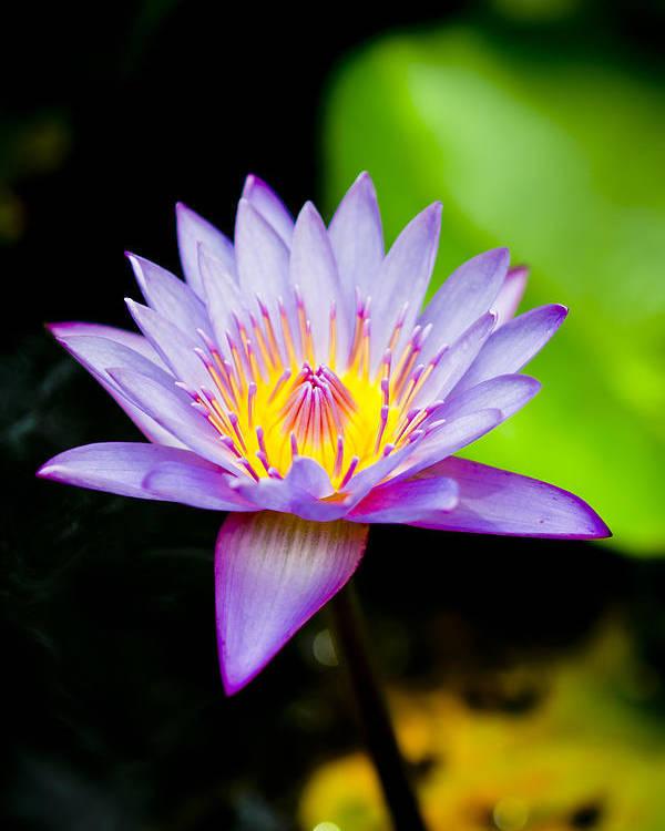 Flowers Poster featuring the photograph Purple Lotus by Raimond Klavins