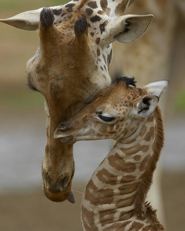 00119300 Poster featuring the photograph Rothschild Giraffes Nuzzling by San Diego Zoo