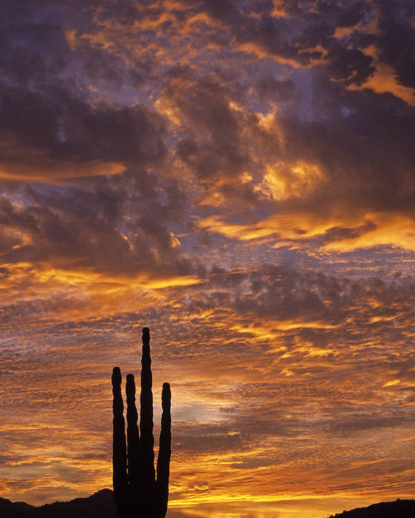 American Southwest Poster featuring the photograph Silhouetted Saguaro Cactus Sunset At Dusk With Dramatic Clouds by Jim Corwin