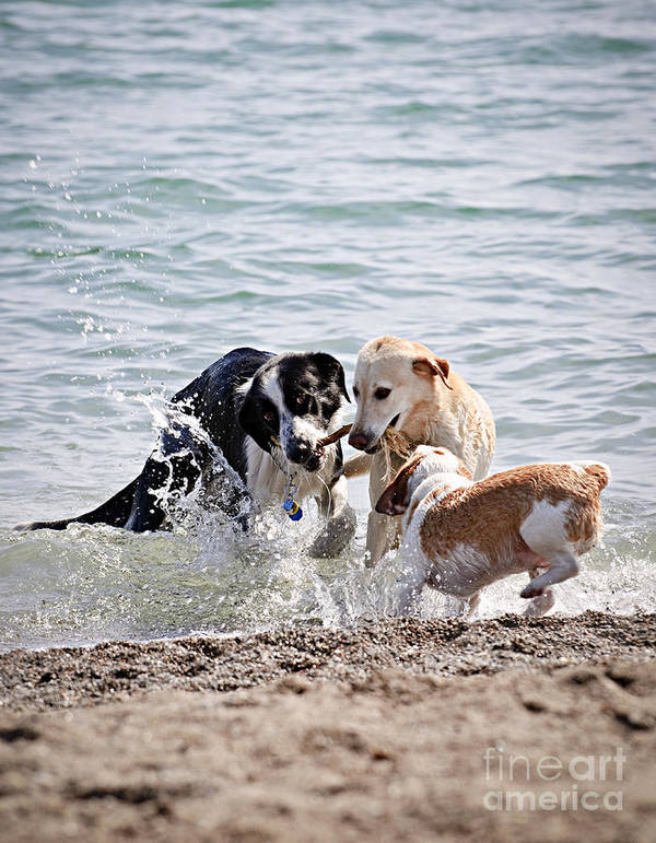 Dogs Poster featuring the photograph Three Dogs Playing On Beach by Elena Elisseeva