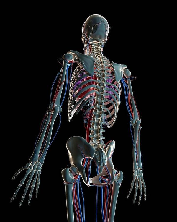 Artwork Poster featuring the photograph Human Vascular System by Sebastian Kaulitzki