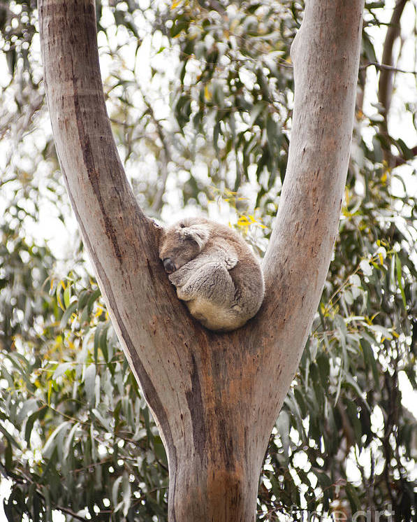 Australia Poster featuring the photograph Koala by Tim Hester