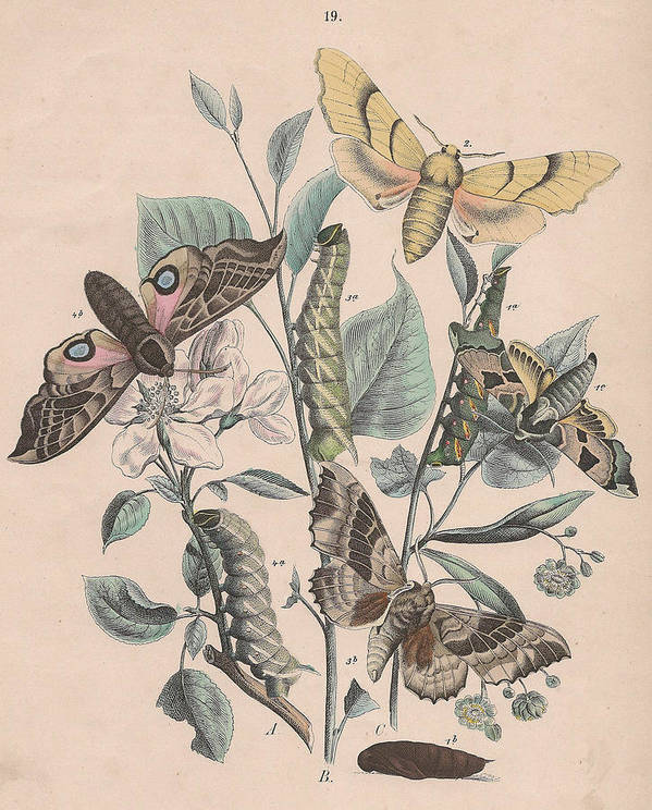Butterfly Poster featuring the drawing Sphingide by W Kirby