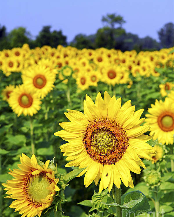 Sunflower Poster featuring the photograph Sunflower Field by Elena Elisseeva